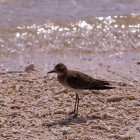 Calidris subminuta?