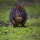 Pademelon à ventre rouge