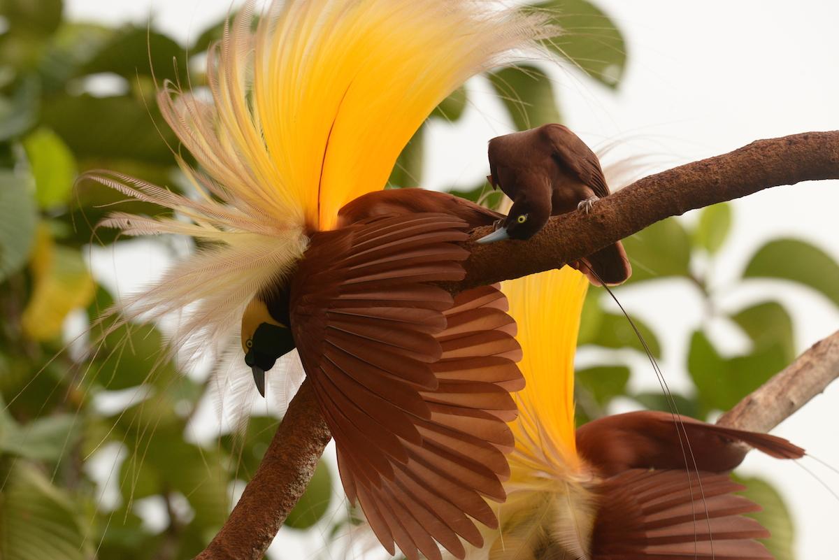 A csodálatos paradicsommadár- félék